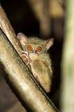 Spectre de Tarsius, parc national de Tangkoko, Sulawesi photographie stock libre de droits