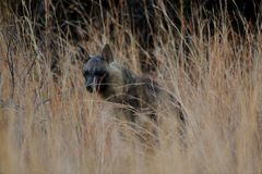 Spectre of Pilanesburg. The elusive brown hyena is a very shy animal and is not often seen Stock Photo