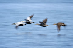 Speed. Group of Common Eider flying above water Stock Images