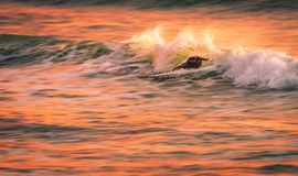 A speed blur image of a surfer on a wave at sunset Royalty Free Stock Photos