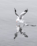 Speed seagull flying on water surface to catch food Royalty Free Stock Photo