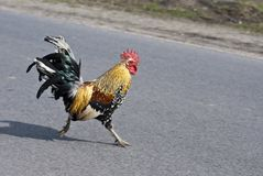 Speeding cock. Rushing for the beautiful chicken cock Stock Images
