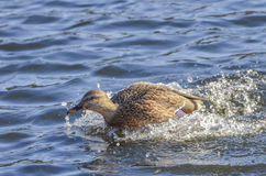 Speeding Mallard. Speeding Female Mallard racing through the water Royalty Free Stock Photo