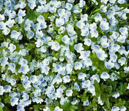 Speedwell . Royalty Free Stock Photos