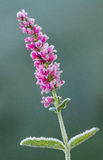 Speedwell Blume Stockfotos