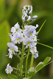 Speedwell Flower Royalty Free Stock Images