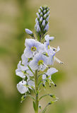 Speedwell Flower Royalty Free Stock Image