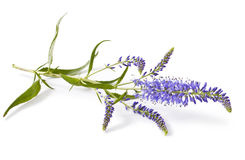 Speedwell flowers (Veronica longifolia) Royalty Free Stock Images