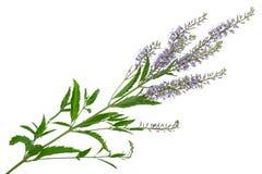 Speedwell flowers (Veronica longifolia)