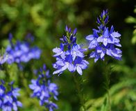 Speedwell (Veronica austriaca) Stock Images