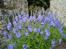 Speedwell (Veronica austriaca) Royalty Free Stock Photography