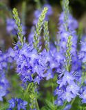 Speedwell (Veronica austriaca) Royalty Free Stock Photo