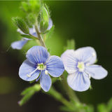Speedwell (Veronica chamaedrys) flowers Royalty Free Stock Photos