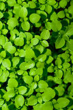Speedwell weed background. A green background made from a close up of speedwell weeds Stock Photo
