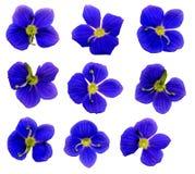 SpeedwellFlowers Royalty-vrije Stock Afbeeldingen