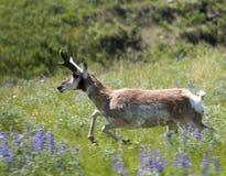Speedy antelope Stock Image