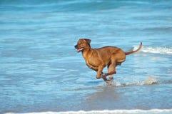 Speedy dog Royalty Free Stock Photos