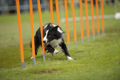 Speedy dog. Border Collie running very fast through a pole object on agility competition Stock Images