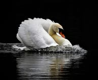 Speedy Mute Swan Royalty Free Stock Photography
