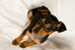 Speedy my cute puppy. A pincher on a withe blanket Stock Image