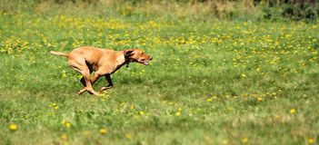 Speedy rhodesian ridgeback Stock Photos