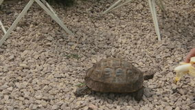 Speedy tortoise stock video footage
