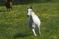 Speedy white horse. A white horse is running through a green meadow full of yellow dandelion in bloom Royalty Free Stock Photo