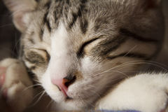 Sleeping cat close-up Royalty Free Stock Image