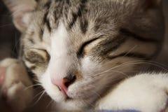 Sleeping cat close-up Royalty Free Stock Image