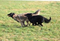 Speel Belgische herder Stock Foto's