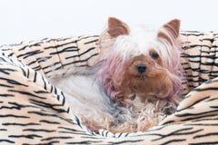 Speelgoed-Terrier Royalty-vrije Stock Foto's