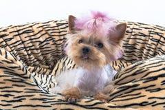 Speelgoed-Terrier Stock Fotografie