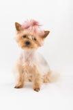 Speelgoed-Terrier Royalty-vrije Stock Afbeeldingen
