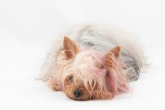 Speelgoed-Terrier Stock Afbeelding