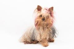 Speelgoed-Terrier Royalty-vrije Stock Fotografie