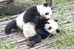 Speelpanda bears, Chengdu, China stock foto