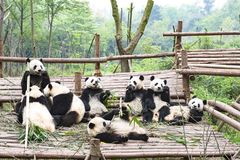 Speelpanda bears, Panda Breeding Center, Chengdu, China Stock Foto's