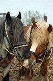 Speels bijtend paard Stock Fotografie