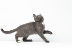 Speels Gray Kitty Raising Paw en het Kijken omhoog op Wit royalty-vrije stock foto's