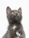 Speels Gray Kitty Raising Paw en het Kijken omhoog op Wit stock foto