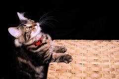 Speels katje op mand Royalty-vrije Stock Foto's
