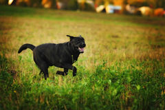 Speels Labrador Stock Foto