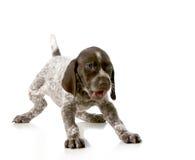 Speels puppy Stock Foto's