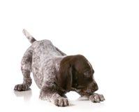 Speels puppy Stock Foto