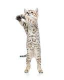 Speels Schots die katje l op wit wordt geïsoleerd stock afbeelding
