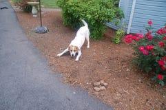 Speels wit puppy Stock Afbeeldingen