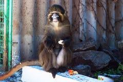 Speelse aap die een banaan eten Stock Fotografie