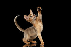 Speelse Abyssinian Kitten Looking en het Opheffen op Poot isoleerde zwarte stock foto's