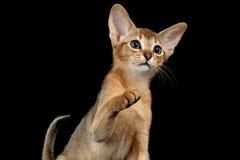 Speelse Abyssinian Kitten Looking en het Opheffen op Poot isoleerde zwarte stock fotografie
