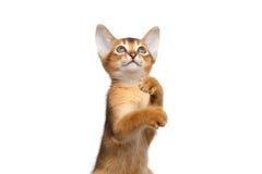 Speelse Abyssinian Kitty Curious Standing op Geïsoleerde Witte Achtergrond royalty-vrije stock fotografie